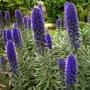 Echium fastosum (Orgulho da Madeira)