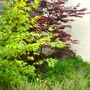 Japanese acers