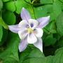 Blue Columbine (Aquilegia alpina)