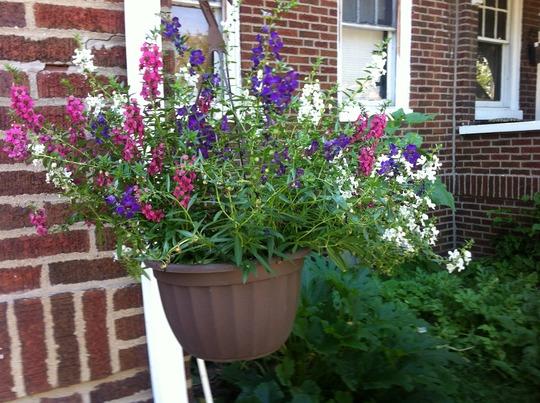 Carita hanging basket (Angelonia angustifolia)
