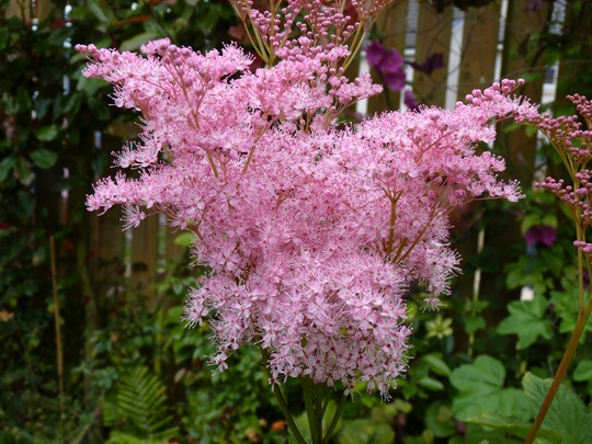 Filipendula rubra 'Venusta' (Filipendula rubra (Queen of the prairies))