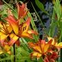 Asiatic Lily 'Linda' (Lilium)