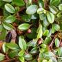 Cotoneaster dammeri - berries (Cotoneaster dammeri)