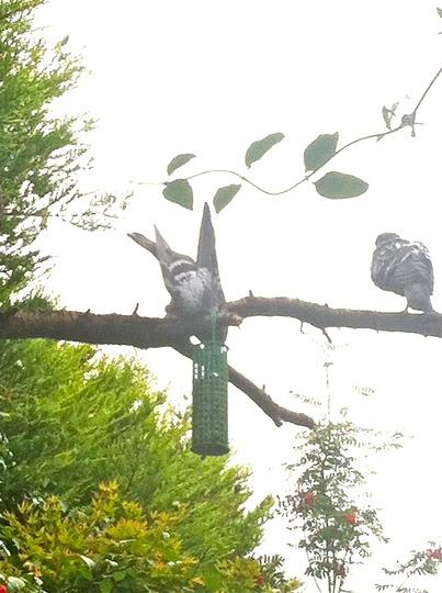 Pigeon Pinching Peanuts