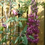 Lilium martagon (Common turkscap lily)
