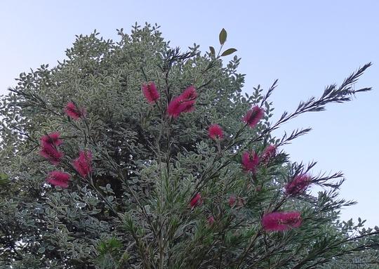 Callistemon linearis - 2012 (Callistemon linearis)
