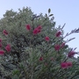 Callistemon linearis - 2012 (Callistemon linearis)