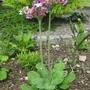 Primula alpicola 2 17 06 2012 12 52 21