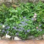 Geranium magnificum roses and Anemone 2 Morwellham 15 06 2012 14 41 02