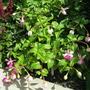 Fuchsia  'Lena ' thank you,Steragram :o))