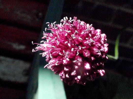 Allium (Allium sphaerocephalon (Round-headed leek))
