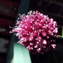 Allium (Allium sphaerocephalon (Round-headed leek))
