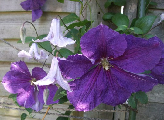 Clematis Victoria with Clematis Vitcella Betty Corning (Clematis Vitcella)