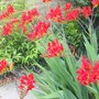 Crocosmia Lucifer - Red, best ever this year. (Crocosmia Lucifer)