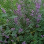 Indigofera heterantha - 2012 (Indigofera heterantha)