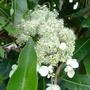 Hydrangea_seemanii_2012