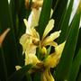 Iris foetidissima var citrina