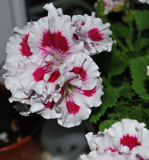 Pelargonium Zofia Pope... (Pelargonium Zofia Pope. (regal))