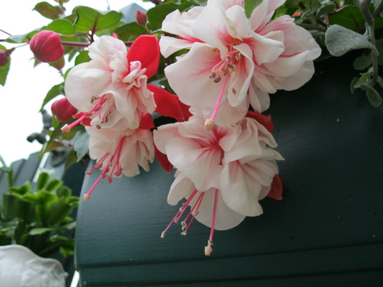 Close up of Fuchsia 'Ballet Girl ' :o)