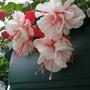 Close up of Fuchsia 'Ballet Girl ' :o)