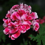 Pelargonium Madam Nonin (unique) (Pelargonium Madam Nonin (unique))