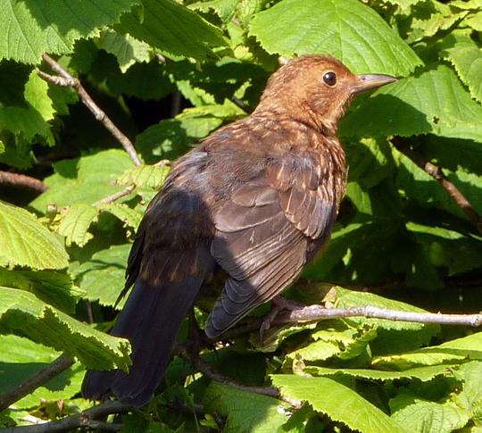 Young Hen Blackbird.