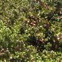 Carissa macrocarpa - Natal Plum Flowering, Fruiting (Carissa macrocarpa - Natal Plum)