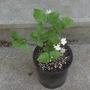 Jasminum sambac 'Maid of Orleans' (Jasminum sambac (Arabian Jasmine))