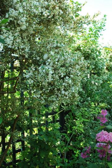 Myrtus Luma Glanleam Gold... (Myrtus Glanleam Gold)