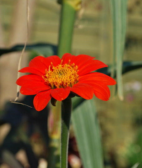 Tithonia (Mexican sunflower) (Tithonia rotundifolia (Mexican sunflower))