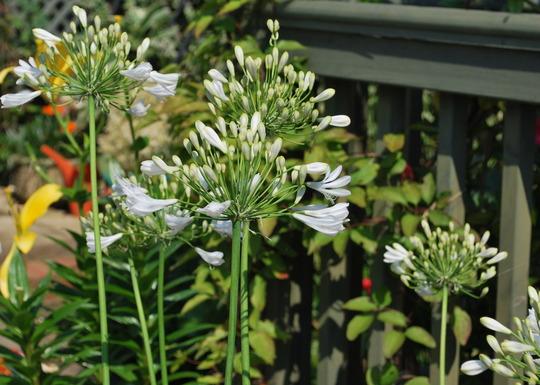 Agapanthus white. (Agapanthus campanulatus (African blue lily) White)