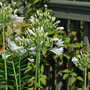 Agapanthus campanulatus (African blue lily) White