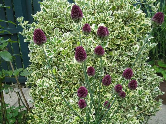 Alliums and Euonymous'Silver Queen'...