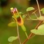 Fuchsia procumbens (Fuchsia procumbens (Fuchsia))