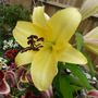 Lily 'Conca D'or'