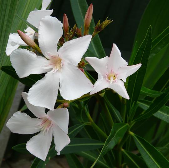 White Oleander (Nerium oleander (Rose Bay))