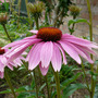 Echinacea Primadonna deep rose (Echinacea primadonna Deep Rose)