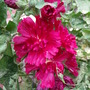 Burgundy Hollyhock
