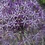 A garden flower photo (Allium 'cristofii')
