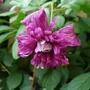 Clematis_viticella_purpurea_plena_2012