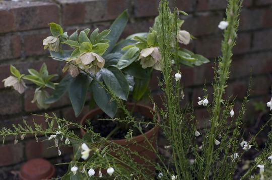 A garden flower photo (Helleborus orientalis (Lenten rose))