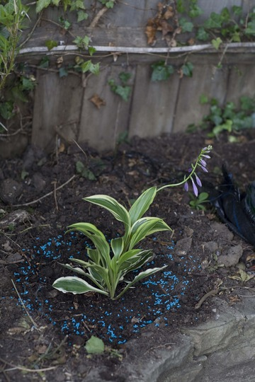 A garden flower photo (Hosta fortunei (Plantain lily))