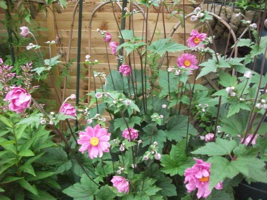 Anemone serenade (Anemone hybrid serenade)