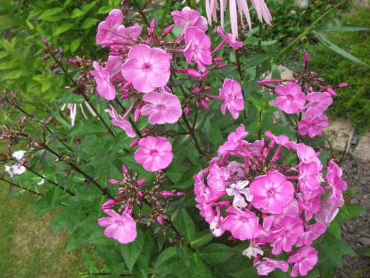 Phlox little princess (Phlox paniculata 'Little Princess')