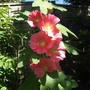 Hollyhock_alcea_ficifolia_aunt_brownie_fig_