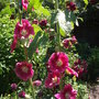 Hollyhock_alcea_rosa_salmon_queen