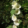 Hollyhock_alcea_rosea_halo_white_