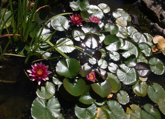Water Lily Nymphaea odorata (Nymphaea odorata (Water lily))