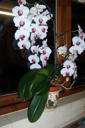 Philanopsis Orchid