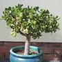 Jade_tree
